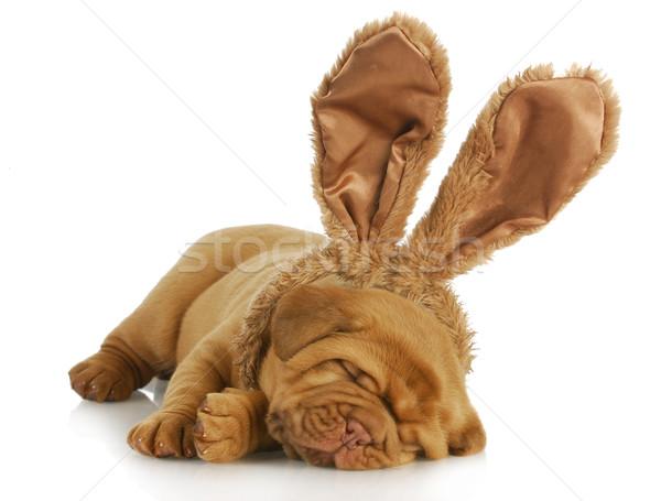 dog wearing bunny ears Stock photo © willeecole