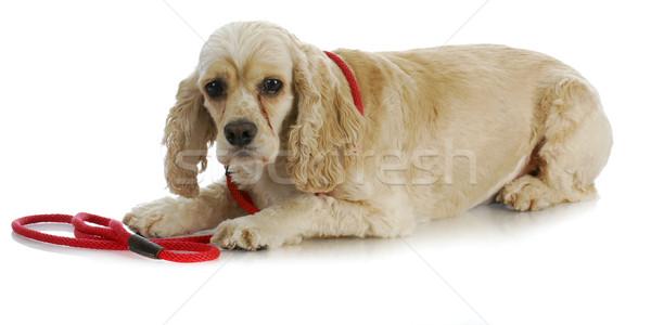 Hond riem amerikaanse wachten lopen Stockfoto © willeecole