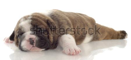 red brindle puppy laying down - three weeks old Stock photo © willeecole