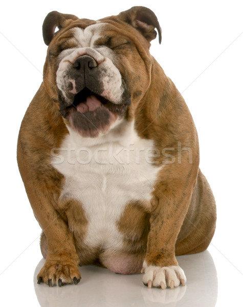 english bulldog with mouth open laughing isolated on white background Stock photo © willeecole