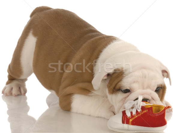 english bulldog puppy chewing on small running shoe - seven weeks old Stock photo © willeecole