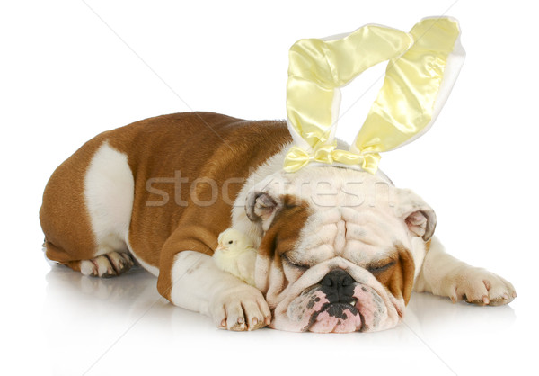 Bulldog lapin chiches Pâques chien anglais Photo stock © willeecole