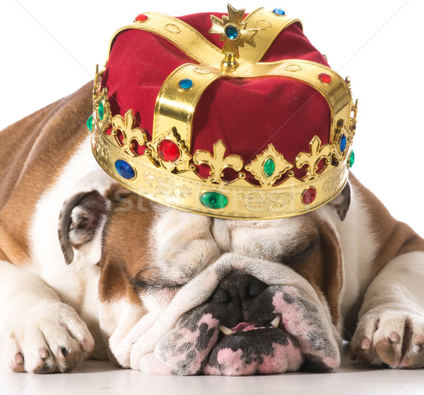 dog wearing crown Stock photo © willeecole