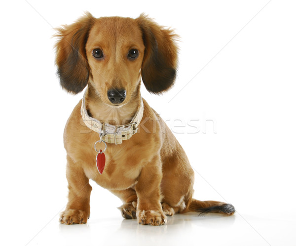 dog wearing collar and tag Stock photo © willeecole