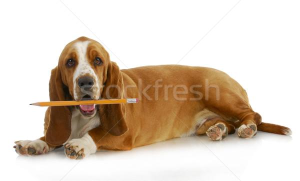 Stockfoto: Hond · potlood · jachthond · scherp · mond
