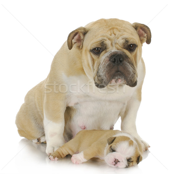 mother dog and puppy Stock photo © willeecole