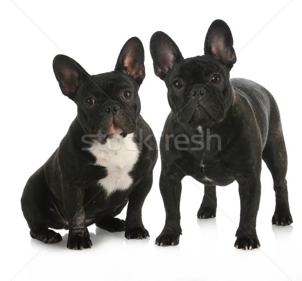 2 フランス語 ブルドッグ 子犬 反射 白 ストックフォト © willeecole