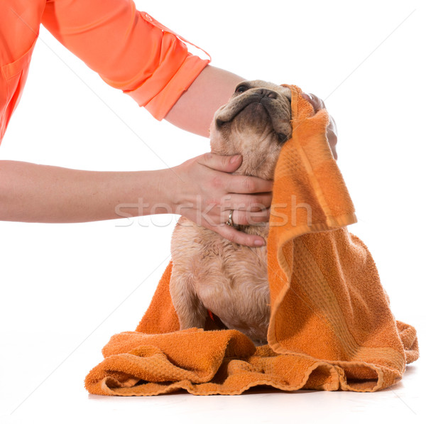Hond bad frans bulldog gedroogd af Stockfoto © willeecole