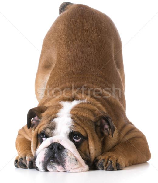 Hond bulldog puppy bum omhoog lucht Stockfoto © willeecole