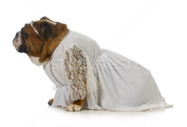 dog bride Stock photo © willeecole