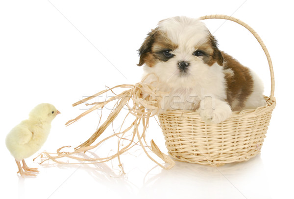 cute puppy and baby chick Stock photo © willeecole
