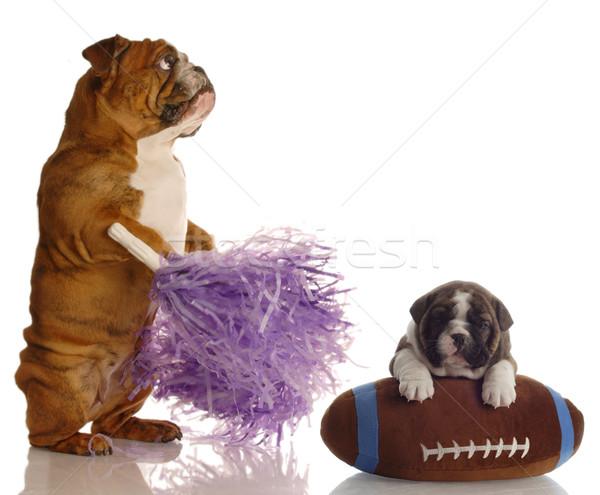Angol bulldog pompomlány áll vmi mellett kutyakölyök Stock fotó © willeecole