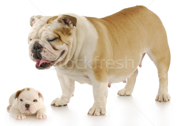 mother and puppy Stock photo © willeecole