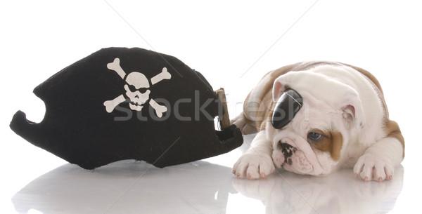 english bulldog puppy dressed up like a pirate Stock photo © willeecole