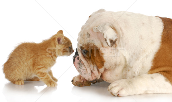 cat and dog Stock photo © willeecole