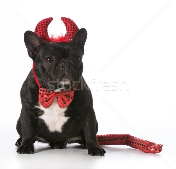 Huncut kutya francia bulldog visel ördög Stock fotó © willeecole