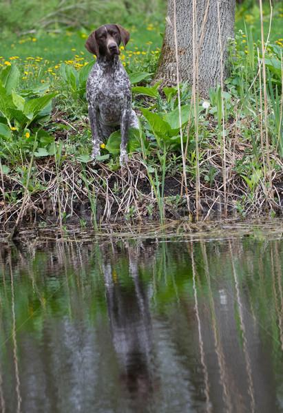 Foto stock: Cão · de · caça · sessão · árvore · floresta · reflexão · animal · de · estimação