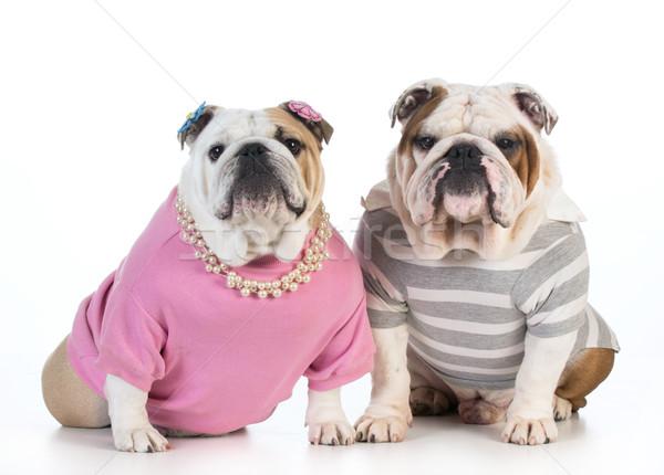 Kutya pár angol bulldog férfi női Stock fotó © willeecole