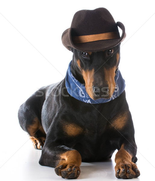 Paese cane doberman up cappello da cowboy Hat Foto d'archivio © willeecole