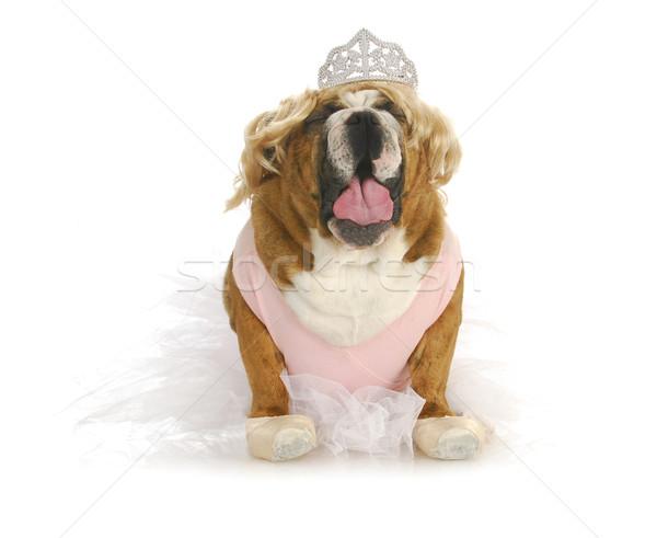 Tout-petits anglais bulldog amusement visage Photo stock © willeecole