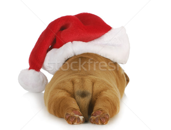 santa dog Stock photo © willeecole