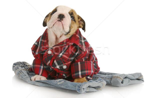 Aranyos kutyakölyök angol bulldog visel kockás Stock fotó © willeecole