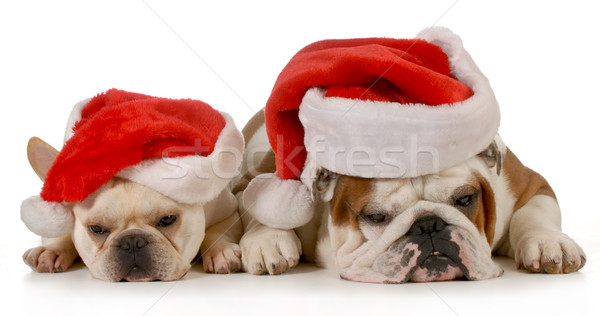 Natale cani francese english bulldog indossare Foto d'archivio © willeecole