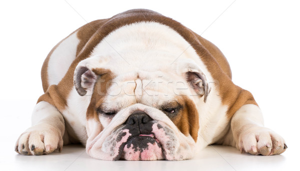 Angol bulldog fekszik fehér férfi 5 éves Stock fotó © willeecole