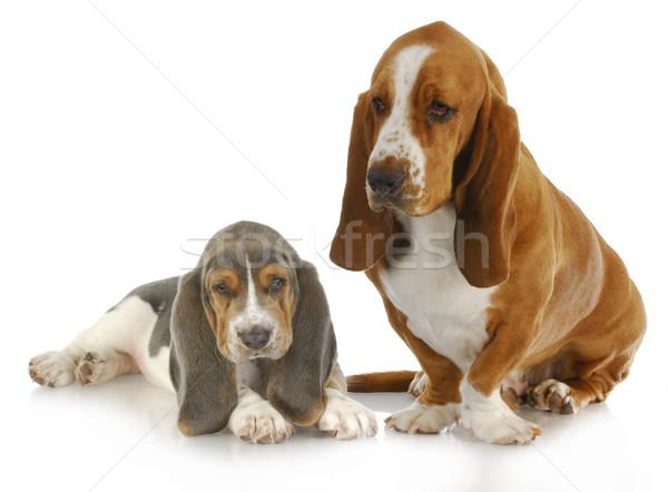 Dwa ogar dorosły szczeniak refleksji odizolowany Zdjęcia stock © willeecole