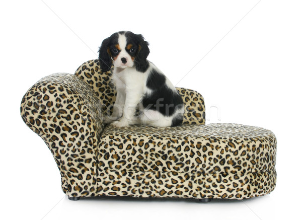 dog sitting on couch Stock photo © willeecole