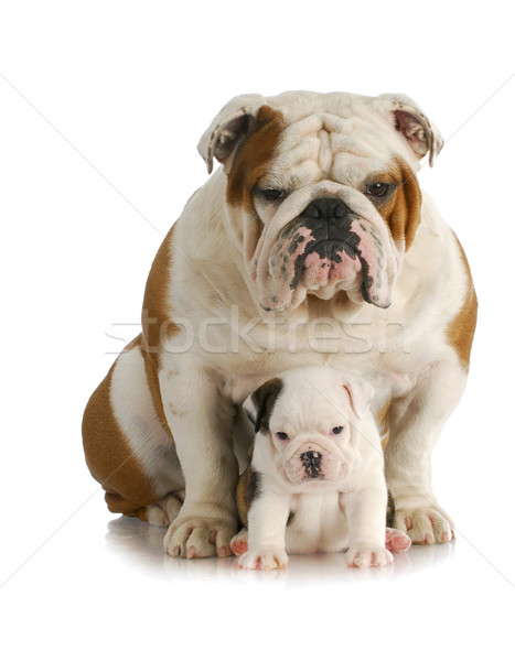 adult dog and puppy Stock photo © willeecole