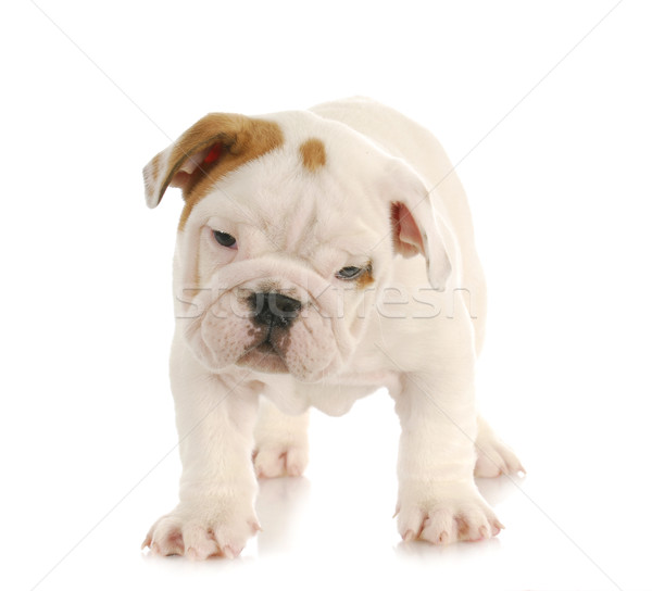 puppy standing Stock photo © willeecole