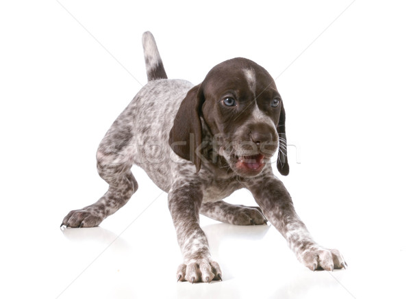 puppy playing Stock photo © willeecole