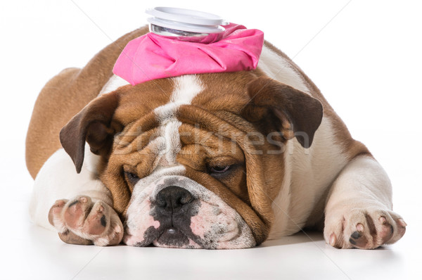 sick puppy Stock photo © willeecole