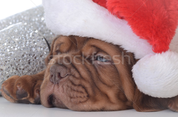 christmas puppy Stock photo © willeecole