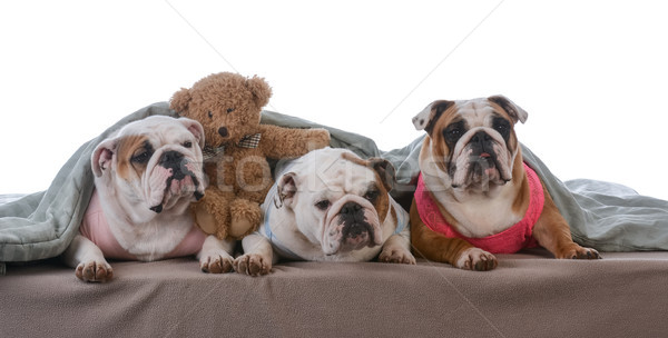 dog pajama party Stock photo © willeecole