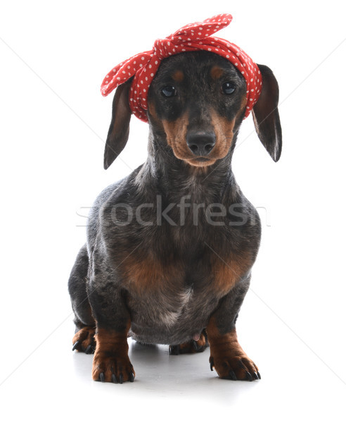 female miniature dachshund Stock photo © willeecole