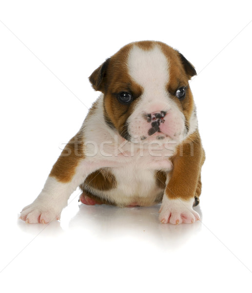 young puppy Stock photo © willeecole