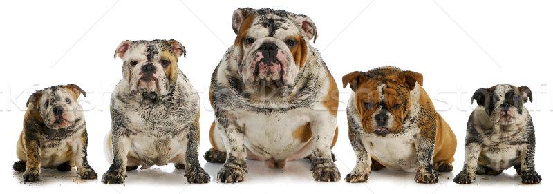 Koszos kutyák öt sáros angol kutya Stock fotó © willeecole