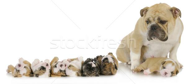 Anya kiskutyák angol bulldog család kutya Stock fotó © willeecole