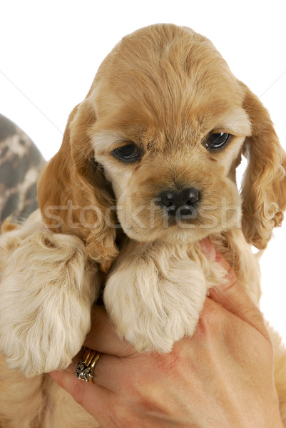 hands holding puppy Stock photo © willeecole