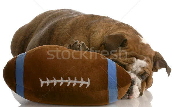 red brindle english bulldog playing with stuffed football Stock photo © willeecole