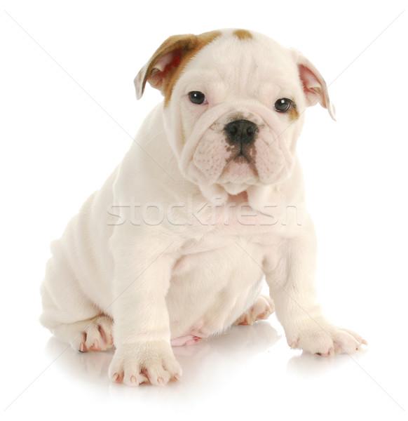 Stock fotó: Aranyos · kutyakölyök · angol · bulldog · ül · fehér