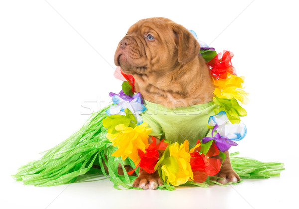 Stock photo: hula dog