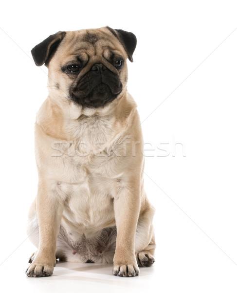grumpy dog Stock photo © willeecole