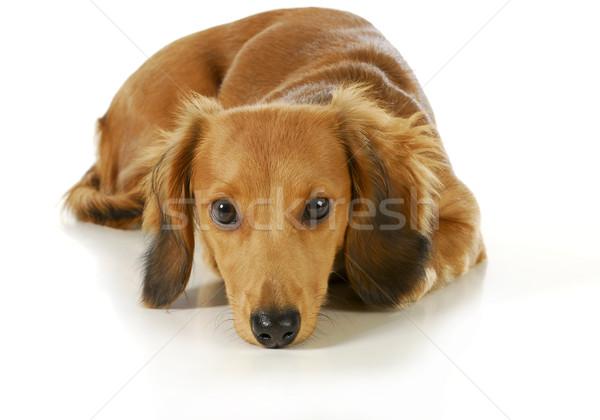 miniature dachshund Stock photo © willeecole