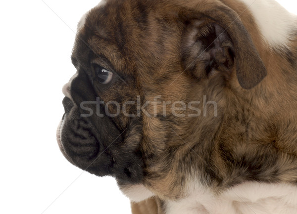 face profile of seven week old english bulldog puppy  Stock photo © willeecole