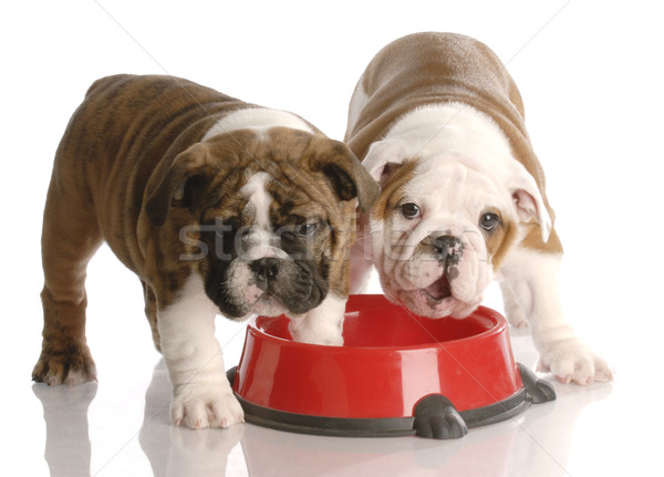 two nine week old english bulldogs puppies and a red dog food dish Stock photo © willeecole