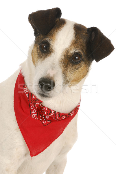 Stock photo: dog wearing bandanna