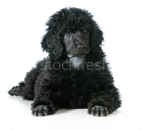 Stock photo: standard poodle puppy